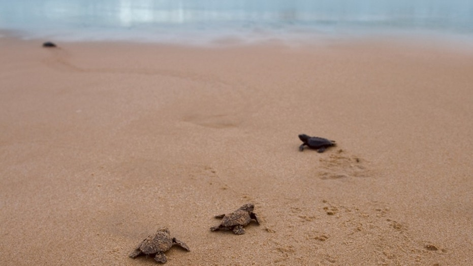 The loggerhead sea turtles were found in a water-filled wastebasket, officials said.
