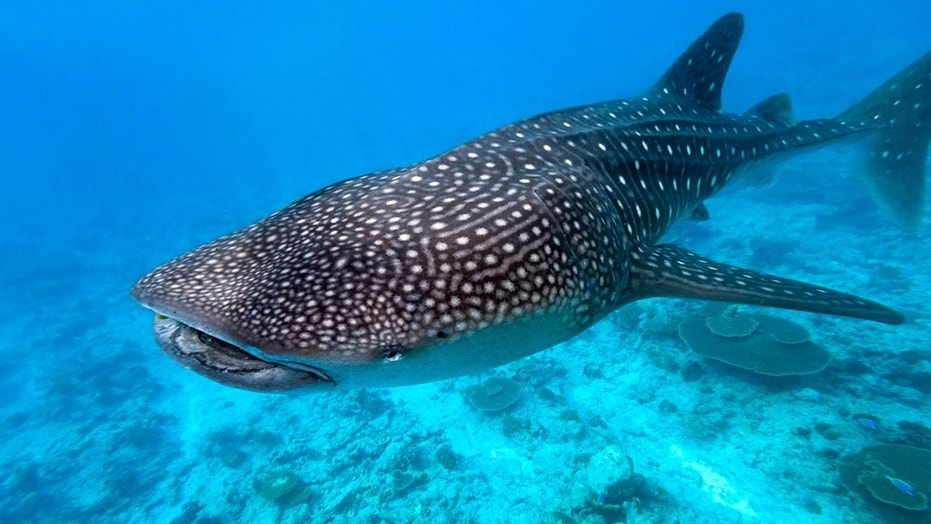 A whale shark was found dead on a Sanibel Island and was likely killed by the red tide, scientists said.