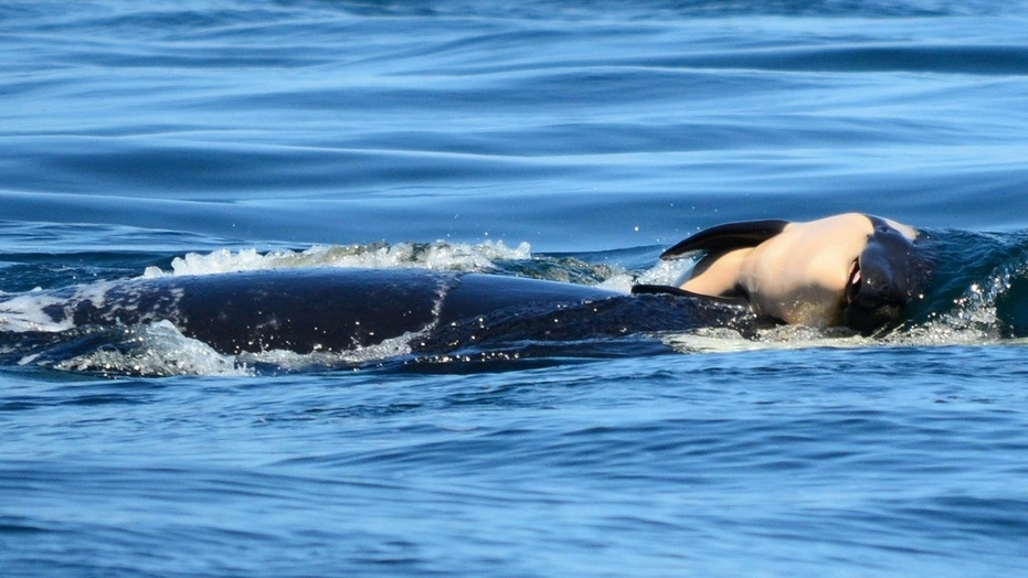 A grieving orca was seen pushing her calf after it died shortly after being born.