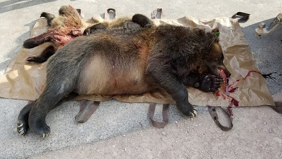 A female grizzly bear and her two cubs were hit by a vehicle last week in Montana and are dead, according to tribal wildlife officials.