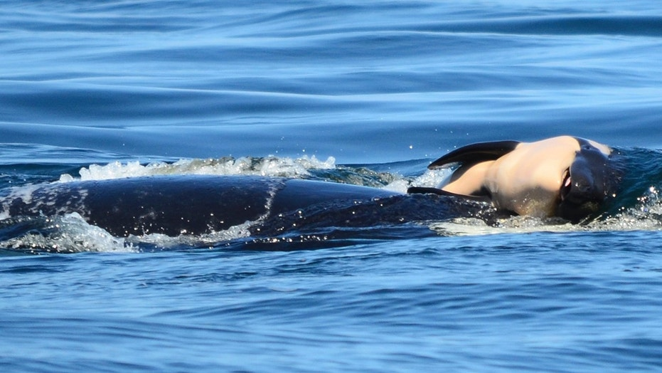 Orca Carries Dead Calf for 3 Days Straight in Grief