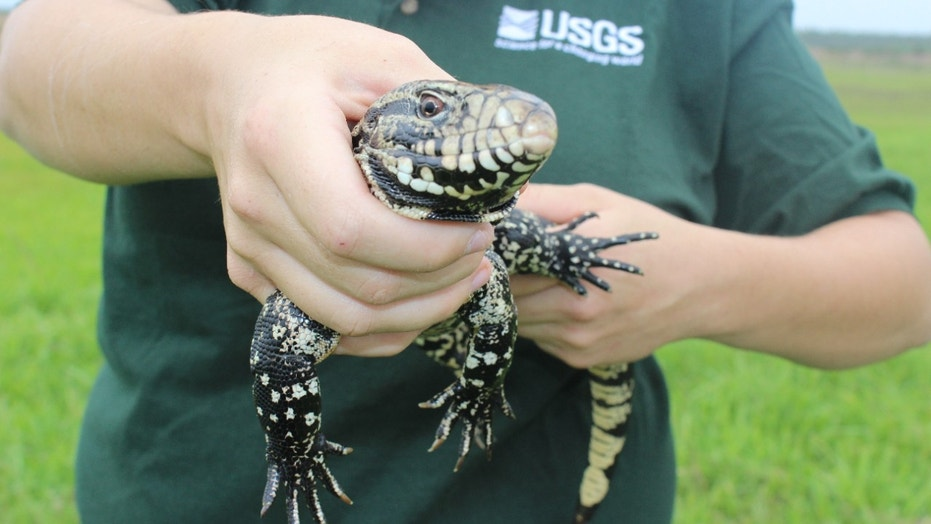 Invasive black and white tegu lizards (Salvator merianae). USGS is working on development of tools for the detection and capture of invasive reptiles in Florida. (Credit: Reuters)