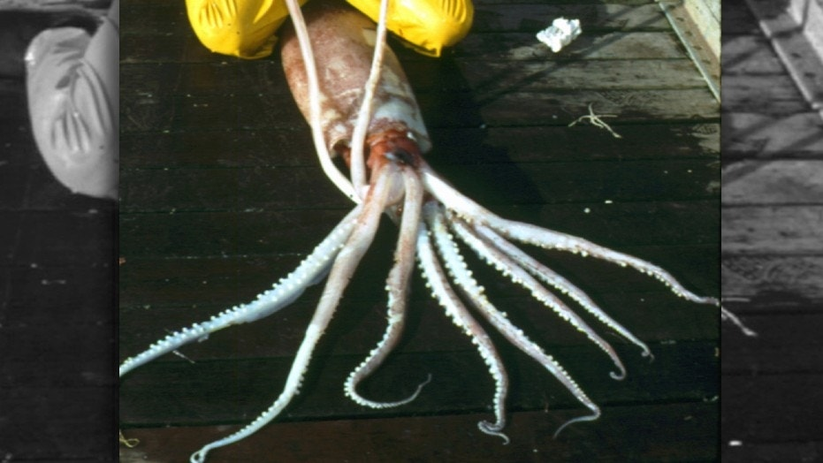 Robust clubhook squids can grow up to 12 feet long, making them the third largest squid species in the world.