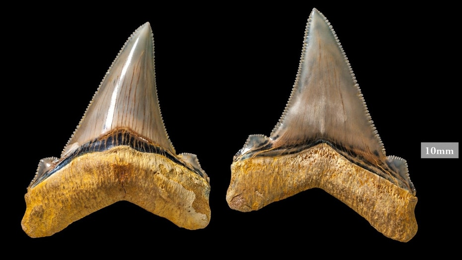 Carcharocles angustidens teeth. (Credit: Museums Victoria)
