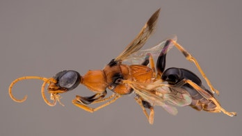 The dementor wasp injects a paralyzing toxin into its prey's belly before chowing down on its (still alive) lunch.