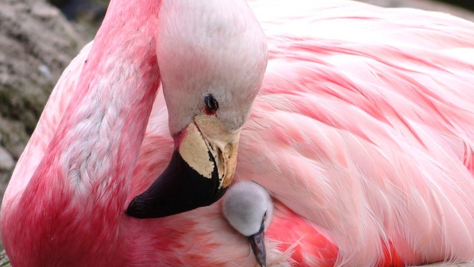 An Andean flamingo looks after a surrogate Chilean flamingo chick, supplanted to replace its own infertile egg, in Slimbridge, England, in this undated photo. The British conservation charity Wildfowl & Wetlands Trust says record-breaking high temperatures encouraged a rare flock of Andean flamingos to lay eggs for the first time since 2003, but their eggs were infertile so the WWT gave them eggs from their near relatives, Chilean flamingos, to look after and satisfy their nurturing instincts. (Wildfowl & Wetlands Trust via AP)