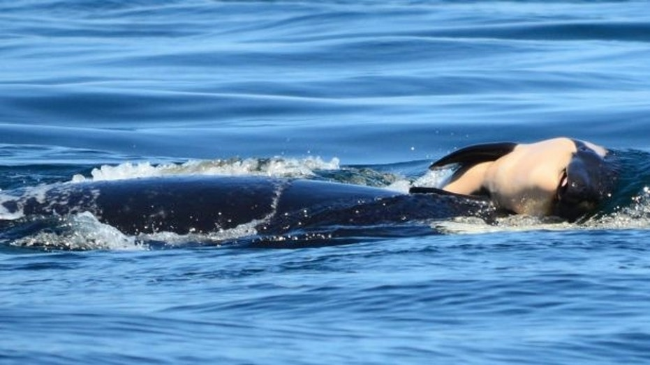 In this file photo taken Tuesday, July 24, 2018, provided by the Center for Whale Research, a baby orca whale was pushed by its mother after the birth off the Canadian coast near Victoria, British Columbia.