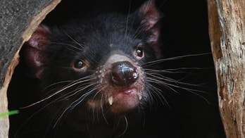 A Tasmanian Devil looks out at its new enclosure at Wild Life Zoo in central Sydney December 21, 2012.  REUTERS/Daniel Munoz (AUSTRALIA - Tags: ANIMALS SOCIETY) - GM1E8CL0VXO01