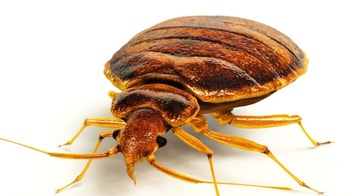 bed bug getty images