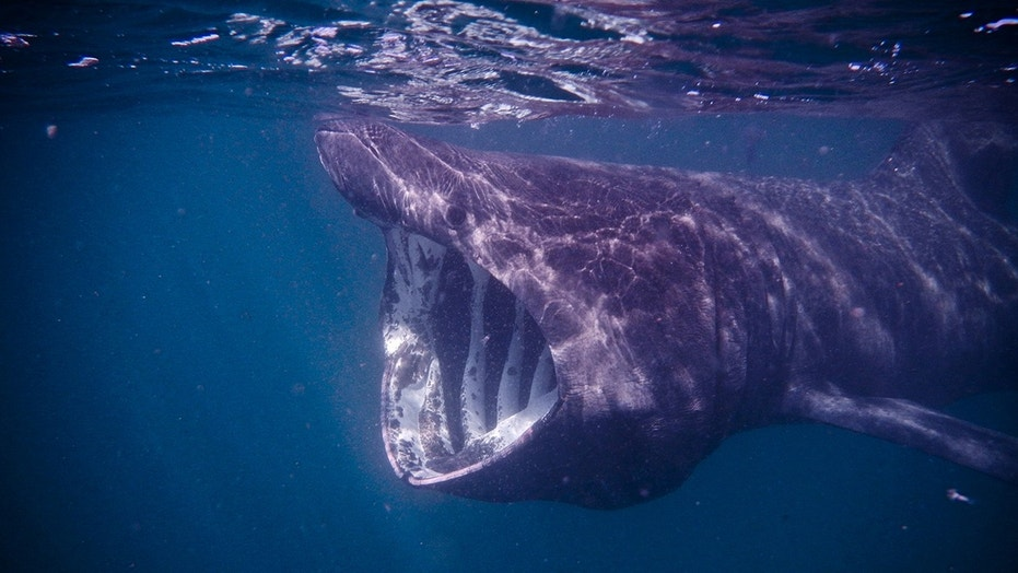 A basking shark is seen off the west coast of Scotland.