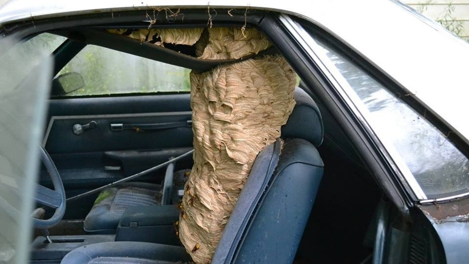 Huge hornets' nest removed from car in Ohio