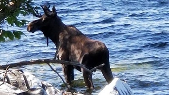 In this Saturday, Sept. 1, 2018, photo provided by Bernadette Toth a moose stands in Lake Champlain in South Hero, Vt. Wildlife officials say the animal had crossed the lake and made it to shore, but went back in the water, after likely feeling threatened by onlookers, and drowned. (Bernadette Toth via AP)