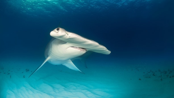 Close up shot of hammerhead shark swimming on the ocean floor.