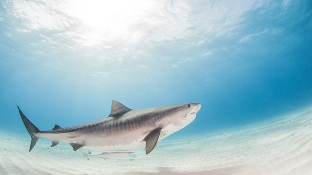 Picture shows a tiger shark during a scuba dive