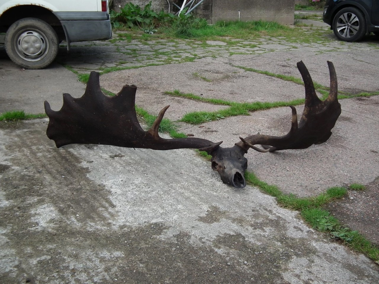 Fishermen haul in monstrous skull and antlers of extinct Irish elk