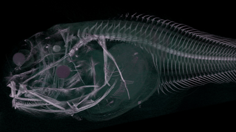 A CT scan of an Atacama snailfish, which was recently discovered in the Atacama Trench.