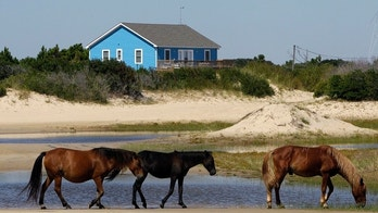 FILE - In this Sept. 14, 2010, file photo, wild horses roam in Corolla, N.C. As North Carolina braces for Hurricane Florence, some tourists and residents are worried about the famous wild horses that roam the Outer Banks. But Sue Stuska, a wildlife biologist based at Cape Lookout National Seashore, said the horses instinctively know what to do in a storm.  (AP Photo/Gerry Broome, File)