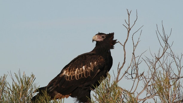 Wedge-tailed eagle, Aquila audax, Australia's largest bird of prey, 105 cm long, wingspan to 230 cm, Peron Peninsula, Western Australia (Photo by: Auscape/UIG via Getty Images)