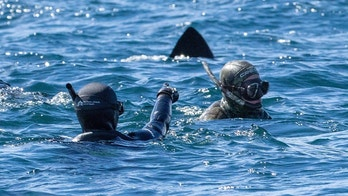 PIC BY Will Clark / CATERS NEWS - (PICTURED a diver points out the shark to another diver ) These fearless snorkelers were left JAWS-dropped after a huge dorsal fin appeared behind them  but all was not as it seemed. Will Clark, from Somerset, was swimming in waters around the Inner Hebrides archipelago in Scotland last month when he snapped the perfectly-timed photograph. But luckily for the divers, the animal which had come to investigate them was not a deadly great white shark but a much more harmless basking shark. While basking sharks are the second biggest fish in the ocean  with only whale sharks bigger  the gentle giants survive on a human-free diet of plankton and small crustaceans. SEE CATERS COPY