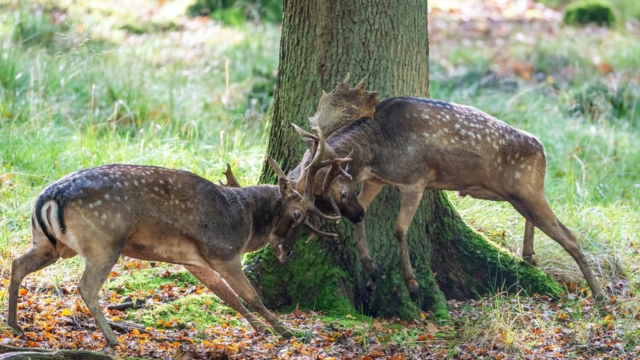 Deer fight goes viral after images of stags locked in battle emerge