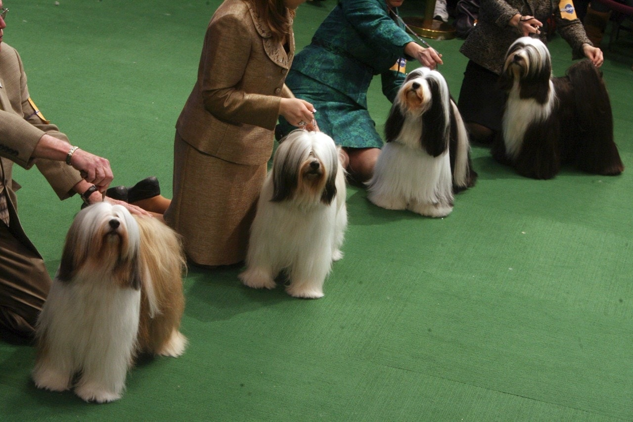Westminster Dog Show Meet The Competition Fox News