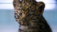 An unnamed Amur leopard baby does its best job to look cute at the Tete-d'Or zoo.