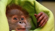 Three week old female orangutan baby 'Rieke' is pictured during a presentation to the media at the Zoo in Berlin February 6, 2015. REUTERS/Fabrizio Bensch (GERMANY - Tags: SOCIETY ANIMALS) - RTR4OHBF