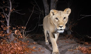 Camera trap image of a lion.