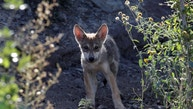 A newly born Mexican gray wolf cub, an endangered native species, is seen at its enclosure at the Museo del Desierto in Saltillo, Mexico, July 19, 2016. REUTERS/Daniel Becerril - RTSIRNA