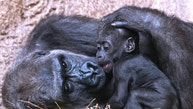Baby gorilla Kio relaxes besides his mother Kumili at the zoo in Leipzig, Germany, Wednesday, Feb. 7, 2018. Kio was born during the night between Dec. 5 and 6, 2017. Together with Diara and Kianga now are living three young gorillas in the group. (AP Photo/Jens Meyer)