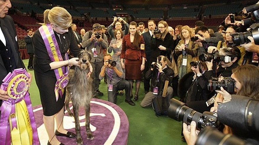 Feb. 15: Hickory, a Scottish deerhound, poses for photographs after winning best in show at the 135th Westminster Kennel Club Dog Show at Madison Square Garden in New York.