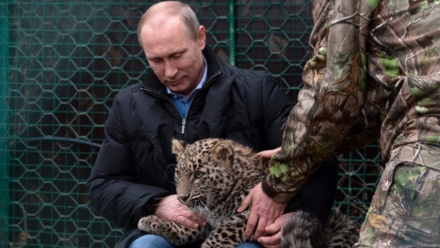 Feb. 4, 2014: Russian President Vladimir Putin pets a snow leopard cub at the snow leopard sanctuary in the Russian Black Sea resort of Sochi. Putin checked in Tuesday at a preserve for endangered snow leopards and visited a group of cubs born last summer in the mountains above the growing torrent of activity in Sochi for the Winter Games.