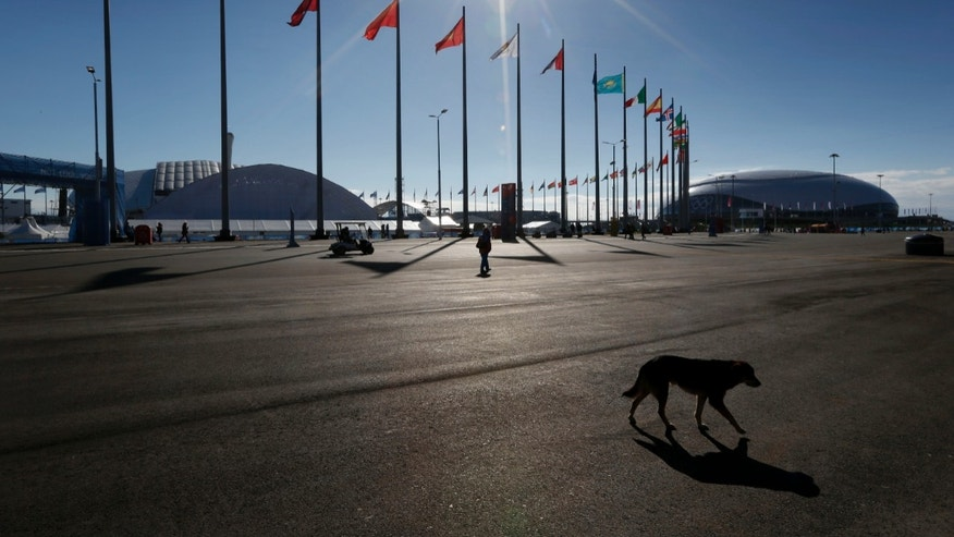 Feb. 6, 2014 - A dog walks near Olympic Park in Sochi, Russia.