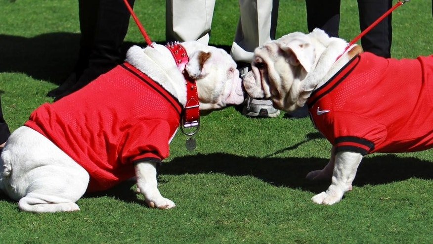 FILE - In this Oct. 16, 2010 file photo, Georgia's new mascot Uga VIII, left, is greeted by interim mascot Russ during a ceremony to introduce Uga VIII as the school's mascot before an NCAA college football game between Georgia and Vanderbilt in Athens, Ga. Georgia's famous bulldog in a red sweater might not be the most imposing mascot, nor is he the wackiest, but you would be hard pressed to find a more famous furry friend roaming the sidelines on a football Saturday. (AP Photo/John Bazemore, File)