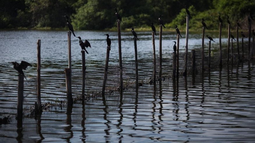 Birds sit on a trash barrier in the Jacarepagua Lagoon complex in Rio de Janeiro, Brazil, Tuesday, Feb. 10, 2015. Rio de Janeiro's top environmental official has visited the trash-and raw sewage-filled lagoon system that hugs the site of the city's future Olympic park. (AP Photo/Felipe Dana)
