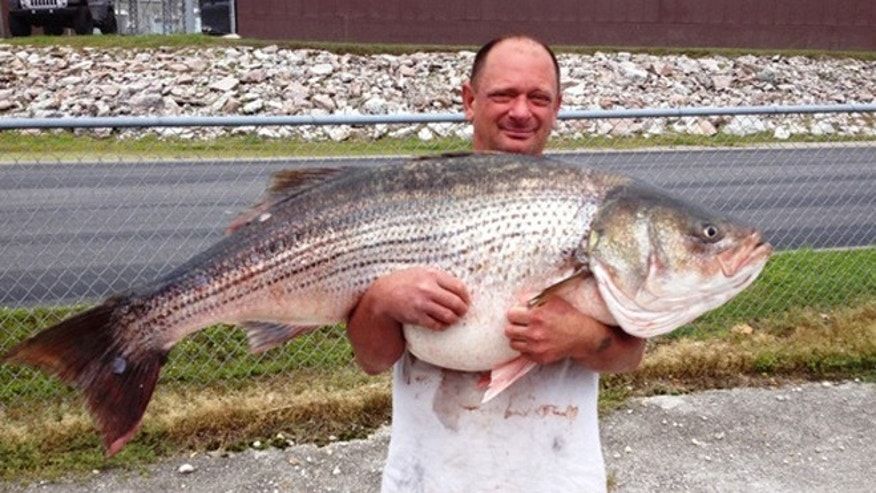 Lawrence Dillman said he fought the nearly 50-inch striped bass for over 45 minutes at Bulls Shoals Lake, which sits on the state's border with Arkansas.