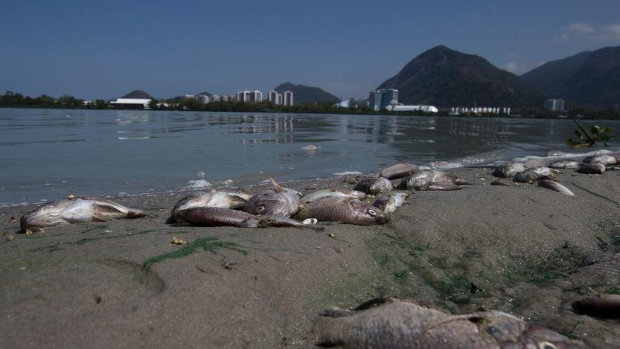 Fish carcasses litter the Jacarepagua lagoon shore in front of Olympic Park, in Rio de Janeiro, Brazil, Saturday, Aug. 29, 2015. Thousands of tilapia, sea bass and mullets started washing up Friday. Brazilian environmentalist and biologist Mario Moscatelli says the fish most likely died because of insufficient oxygen due to pollutants and untreated human waste flowing into the lagoon from nearby condominiums and sprawling shantytowns. (AP Photo/Silvia Izquierdo)