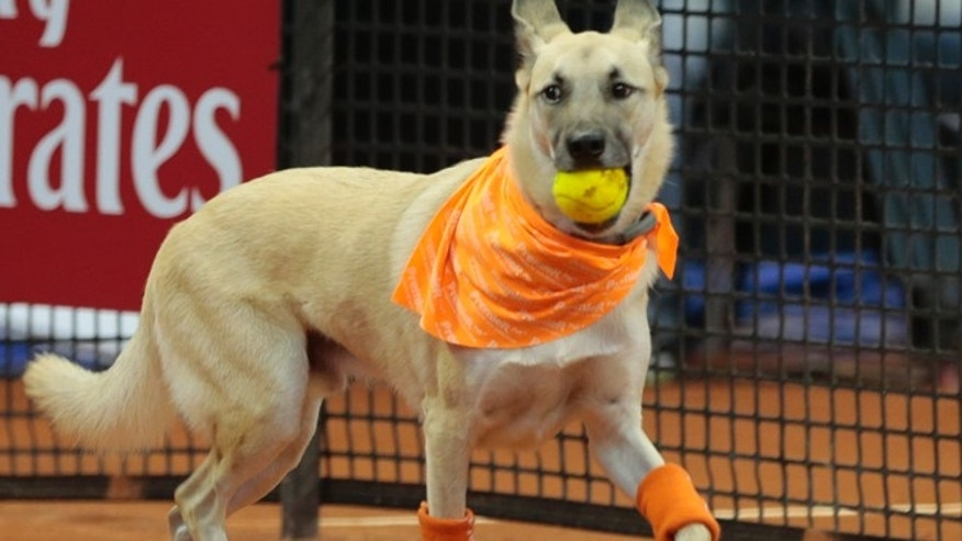 A dog picks up a tennis ball during the Brazil Open tournament in Sao Paulo, Brazil, Thursday Feb. 25, 2016. The dog was one of four trained animals that engaged onlookers Thursday night by picking up balls that went out of bounds. Not long ago, the same dogs had run abandoned in Sao Paulo, Brazils biggest city. The unusual initiative was made to promote the adoption of abandoned street animals. (AP Photo/Leandro Martins)