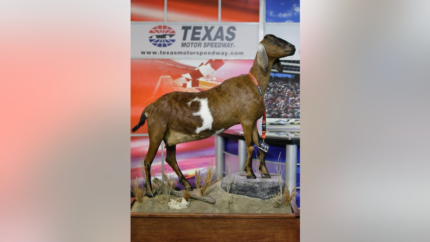 The taxidermy goat 'Lil Dale' so named because of the white No. 3 in its coat is displayed at a NASCAR auto race media availability at Texas Motor Speedway in Fort Worth, Texas, Friday, April 8, 2016. The Nubian goat from Interlachen, Fla., will be displayed permanently at TMS. (AP Photo/Tim Sharp)