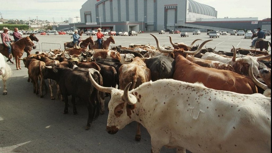 FILE - In this Oct. 4, 1997 file photo, a herd of cattle is led into the parking lot of the Cow Palace during the cattle drive to the 53rd Grand National Rodeo in San Francisco. The San Jose Sharks have come a long way from their original home at the Cow Palace with its undersized ice rink and lingering aroma from its use for rodeos and other livestock events. The team will host its first Stanley Cup Final game on Saturday. (AP Photo/Eric Risberg, File)