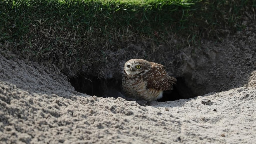 A corujas, a burrowing owl looks out from it burrow in a bunker on the ninth hole as practice continues for the men's golf event at the 2016 Summer Olympics in Rio de Janeiro, Brazil, Tuesday, Aug. 9, 2016. (AP Photo/Alastair Grant)