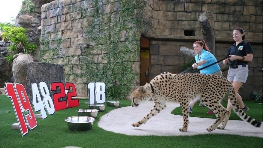 """From left, Jennifer Nelson-Casines, senior keeper, and Emily Henson, zookeeper, walk with Koda, a 4-year old cheetah from South Africa that serves as Zoo Miami's official """"Wildlife Prognosticator"""" on Tuesday, Nov. 15, 2016 at Zoo Miami in Miami, Fla. This year's pick is Carl Edwards to win the NASCAR Sprint Cup Championship. (David Santiago/Miami Herald/TNS via Getty Images)"""