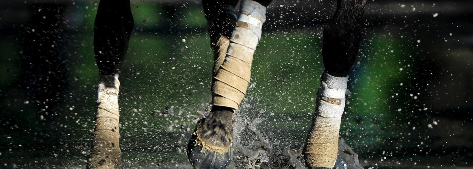 A thoroughbred walks through a puddle on its way back to the stable after a workout at Belmont Park, Tuesday, June 5, 2018, in Elmont, N.Y. Justify will attempt to become the 13th Triple Crown winner when he runs in the 150th running of the Belmont Stakes horse race on Saturday. (AP Photo/Julie Jacobson)