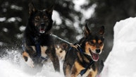 Leaders in Jessica Hendricks's dog team negotiate a steep drop off in the trail after leaving the Finger Lake checkpoint in Alaska during the Iditarod Trail Sled Dog Race on Monday, March 4, 2013. (AP Photo/The Anchorage Daily News, Bill Roth)