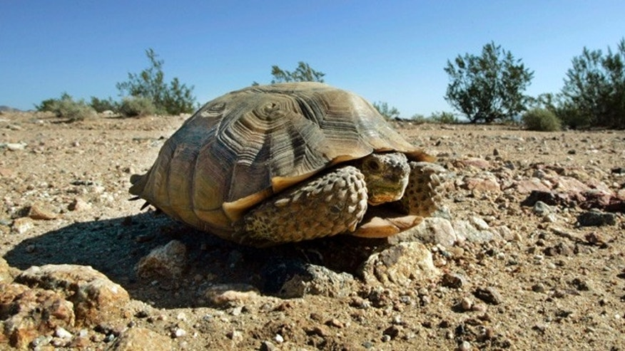 An endangered desert tortoise, which didn't move when a vehicle approached, sits in the middle of a road in the proposed location of three BrightSource Energy solar-energy generation complexes in the eastern Mojave Desert several miles from an old mining and railroad townsite called Ivanpah, Calif.