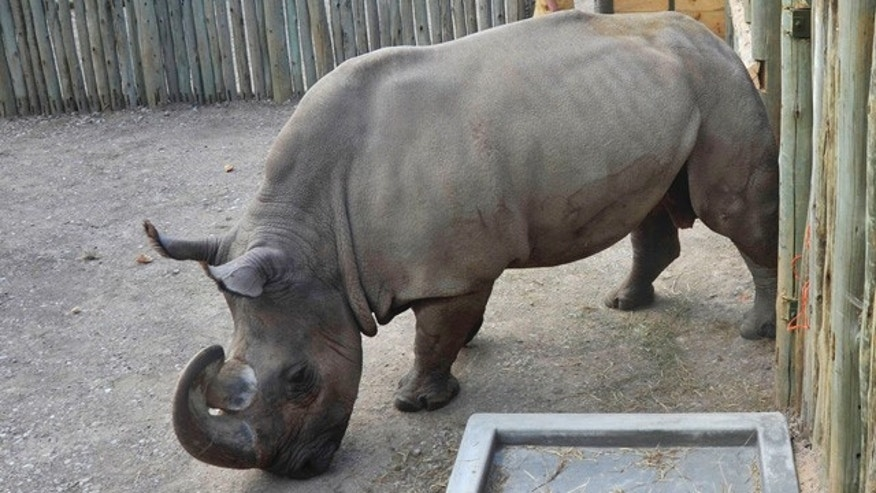Sudan, a 20-year-old northern white rhino, arrives at the Ol Pejeta Conservancy in Kenya on Sunday, Dec. 20, 2009.