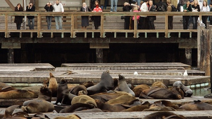 Sea lions are slowly returning to San Francisco's Pier 39 after an abrupt disappearance.