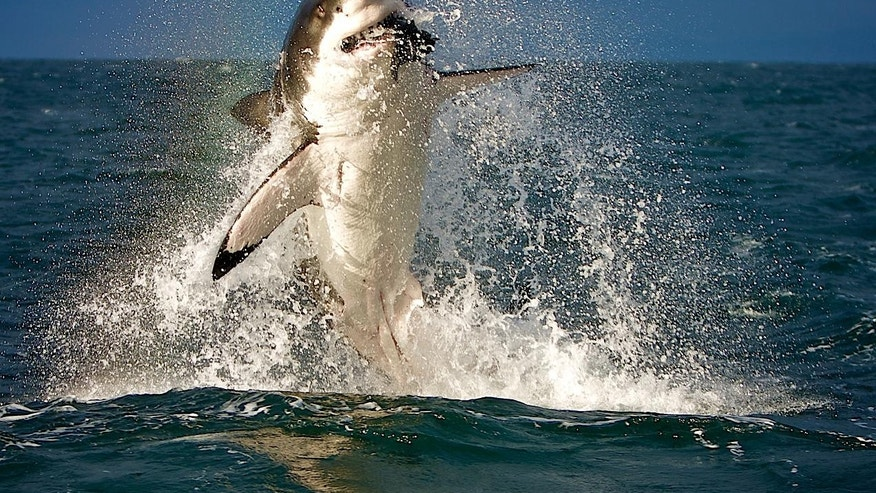 Neil Wilkinson captured this image of a shark attacking a fish off the coast of Seal Island, Cape Town, in 2009.