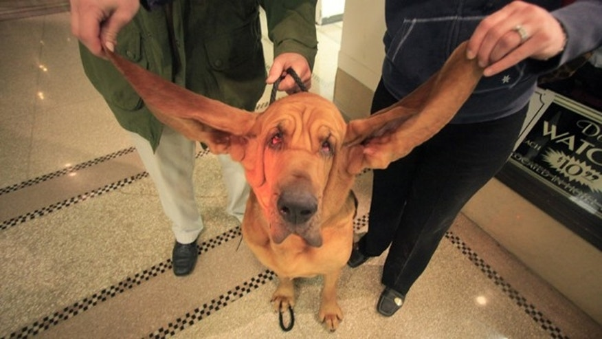 Zack, left, and Heather Helmer, display Harvey's 14 inch ears at the Pennsylvania Hotel, Friday, Feb. 12, 2010 in New York. Harvey, a 3-year-old Bloodhound is in contention for the Guinness Book of World Records for longest dog ears.