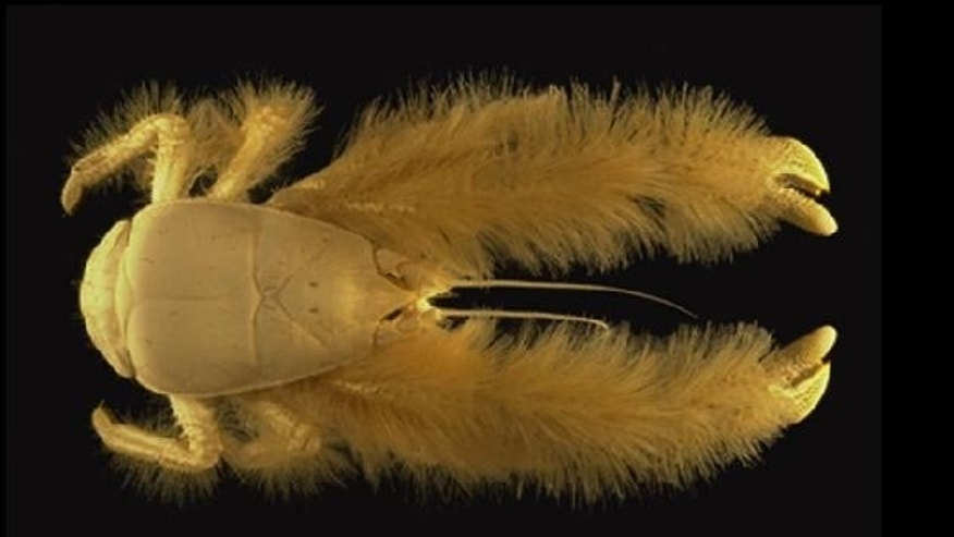 This new species of crab was discovered off the Pacific-Antarctic Ridge in the South Pacific Ocean. It was named Kiwa hirsuta kiwa, after the goddess of shellfish in Polynesian mythology, but has become known as the yeti crab because of its hairy appearance.